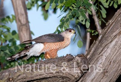 Hawks, Cooper's Hawks