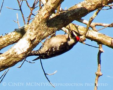 Okefenokee Woodpeckers