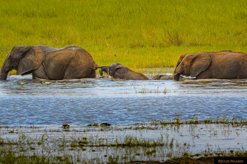Elephant Calves Struggle Through Deep Water