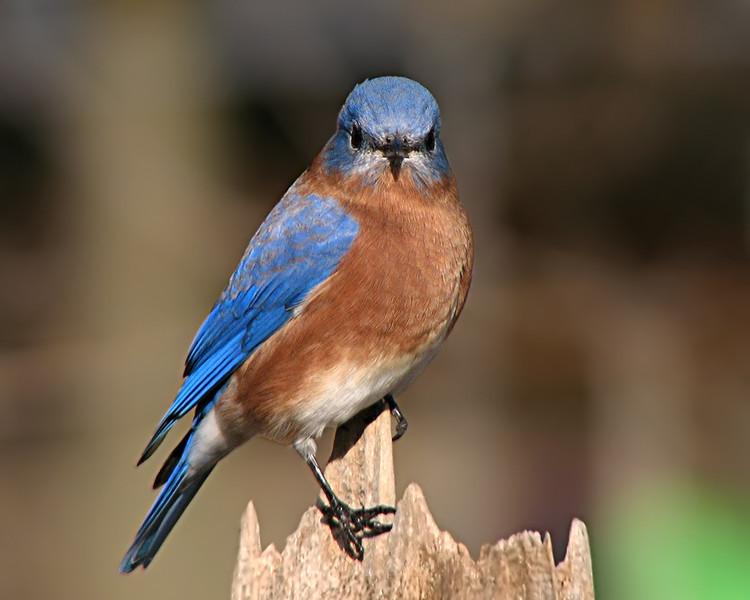 bluebird_0384.jpg