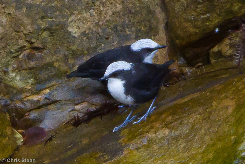White-capped Dipper at Abra Patricia, Amazonas, Peru (07-01-2010)-7