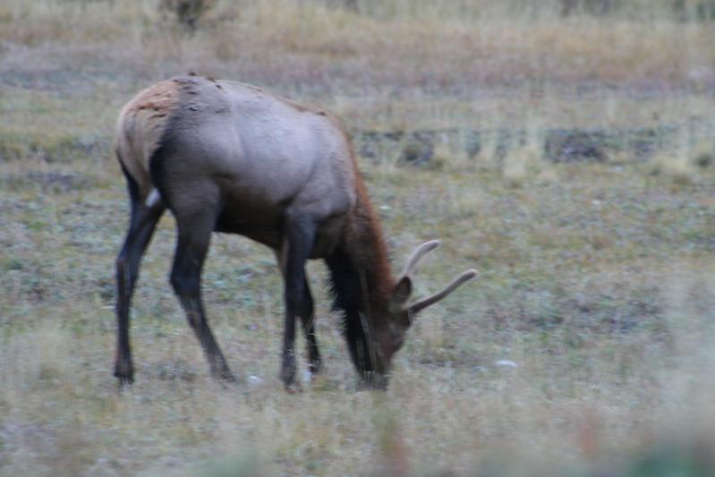 20080911-18 - Rocky Mountain NP - 15 Elk.JPG