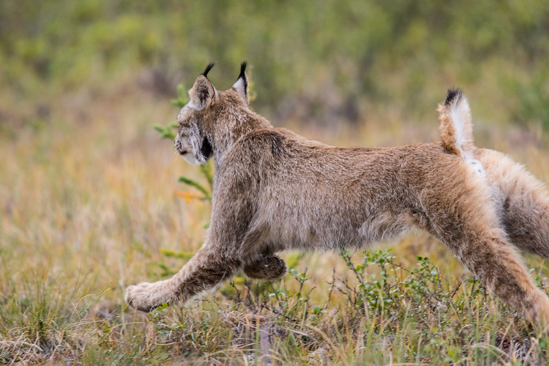 Lynx Tombstone Yukon-2.jpg