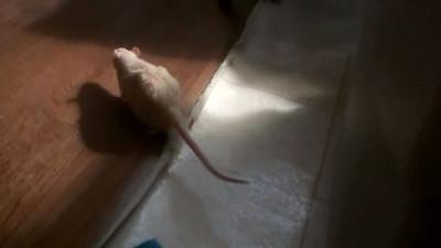 Rats Play
