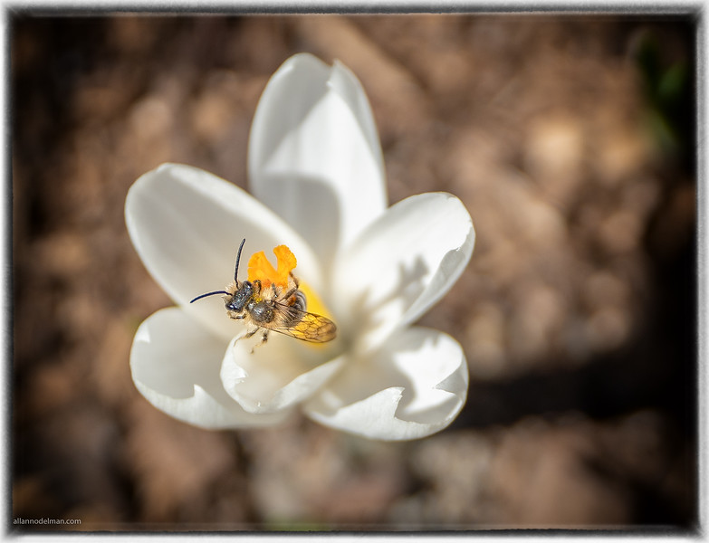 Crocus With Bee