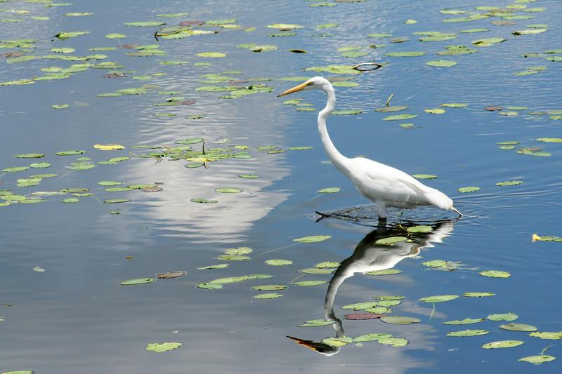 11_15_18 Bird on the water Lettuce Lake Park.jpg