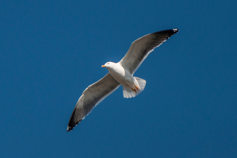 Lesser Black-backed Gull - Reykjavik, Iceland