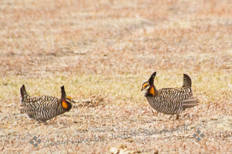 Greater Prairie Chicken Face Off ~ These two male birds are facing off in their courtship dance, showing who's the best.  They were very entertaining to watch, and I considered it a privilege to observe them.