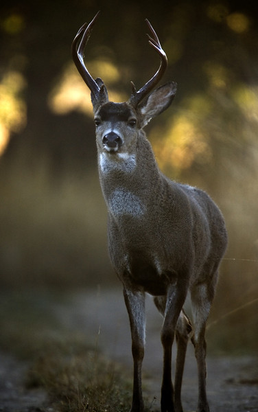 Blacktailed deer, Point Reyes, 09.29.07