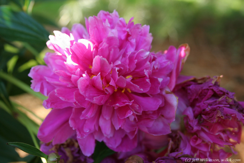 IMG_7868-flower-peony.jpg