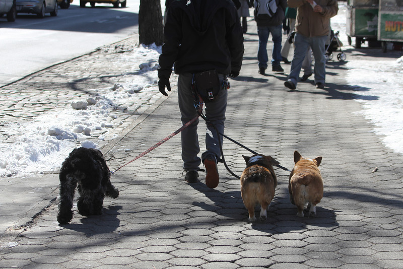 dogwalker - the dogs are often attached to the walker's back