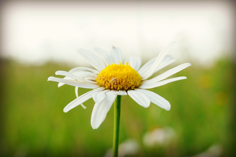 ... even the oxeye daisies ...