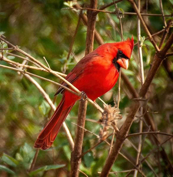 cardinal 0102.jpg