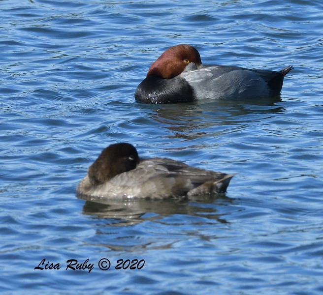 Redhead  - 1/1/2020 - San Diego River and Mission Bay