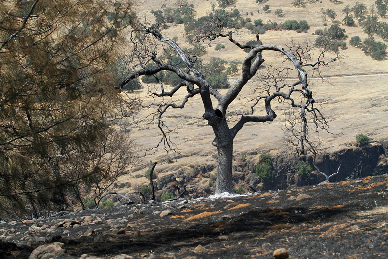 The Peregrine Point Disc Golf Course was scorched by the Stoney Fire. A charred tree stands on the edge of the cliff Tuesday, Aug. 14, 2018, in Chico, California. (Dan Reidel -- Enterprise-Record)
