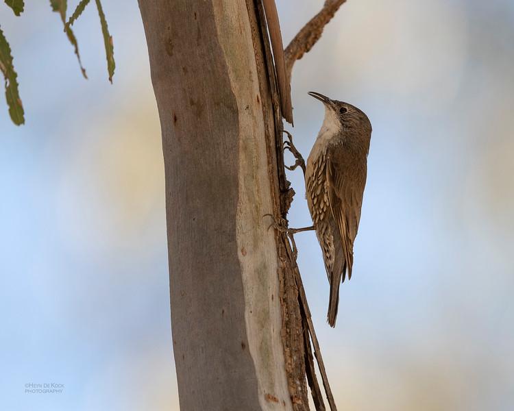 White-throated Treecreeper, Deniliquin, NSW, Oct 2018-1.jpg