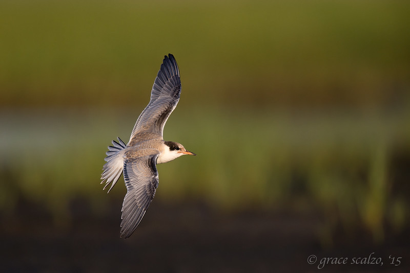 Common Tern Juvenile flying