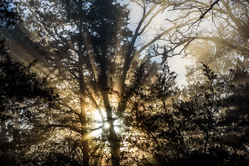 Sunrise-Fog-ThroughPines1