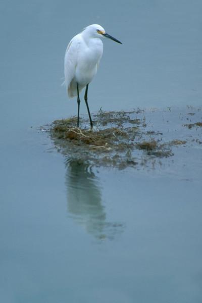 snowy egret Vertical.jpg