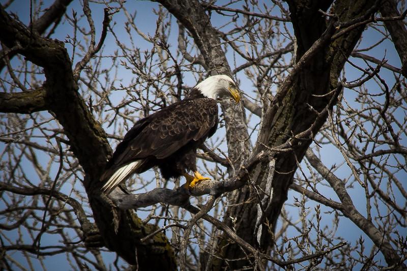 Eagle sitting-7032.jpg