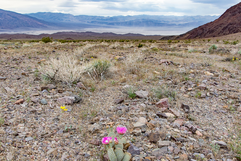 Death-Valley-cacti-flowers-Spring2017.jpg