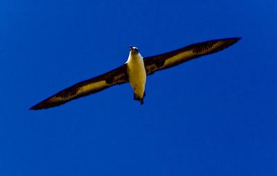 Albatross at Ka'ena Point