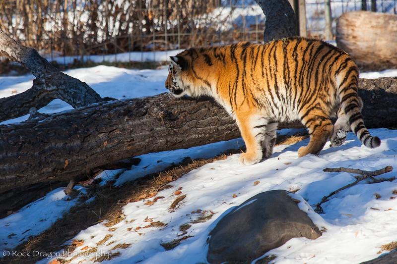 A tiger cub at the Calgary Zoo.
