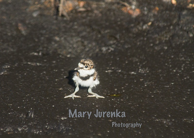 Killdeer,  Sandpipers, Bluejays, Cardinals, and Robins