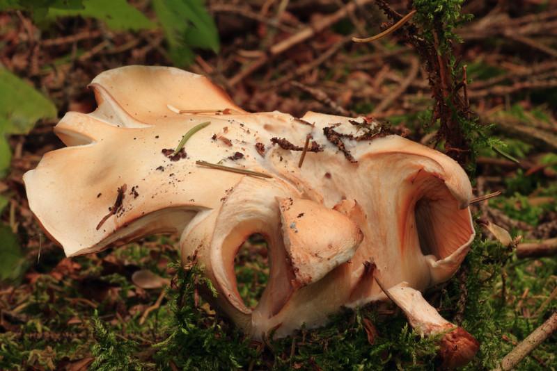 Mushroom- Sherburne NWR