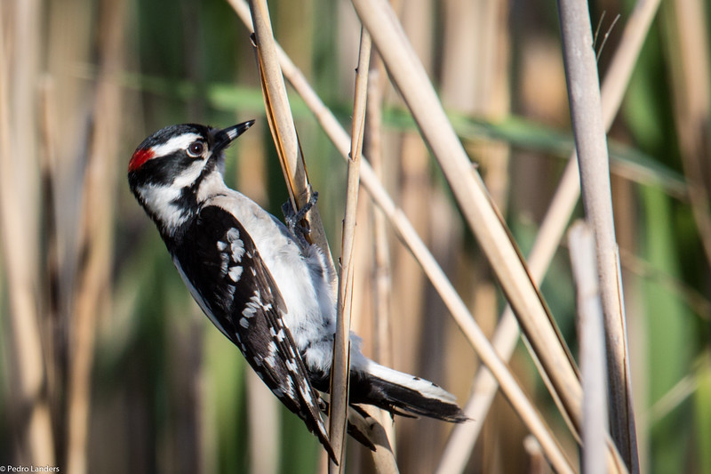 Downy Woodpecker Out of its Comfort Zone