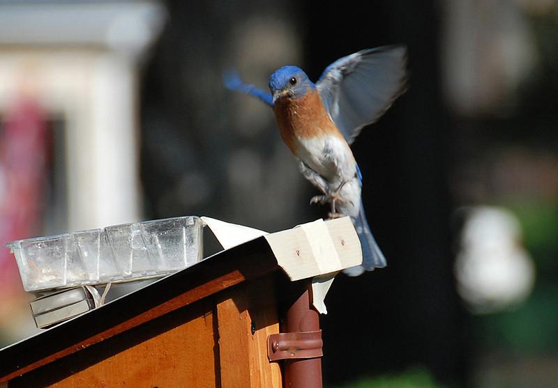 Bluebird7.jpg