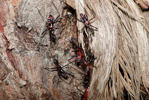 Australian Bugs