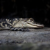 Aligator - NC Aquarium at Pine Knoll Shores