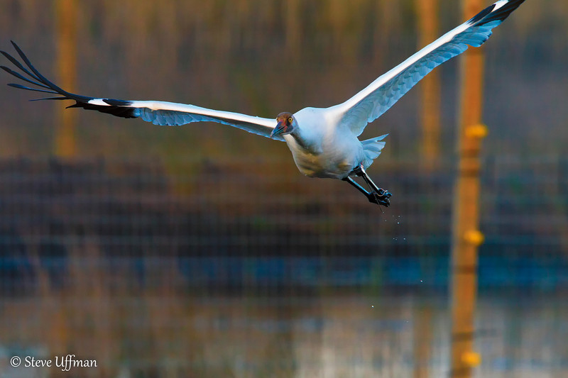 20120207-_MG_2791Whooping_Cranes_White_Lake-Edit.jpg