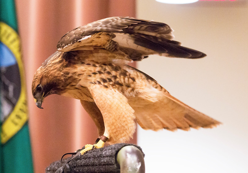 Rescued Red-tailed Hawk in the Columbia Gorge Discovery Center, The Dalles