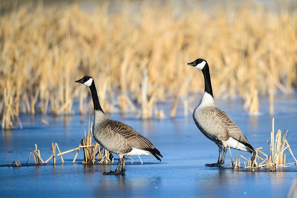 4 2013 Apr 9 Geese, Horned Lark, Swans & Rough-legged Hawk