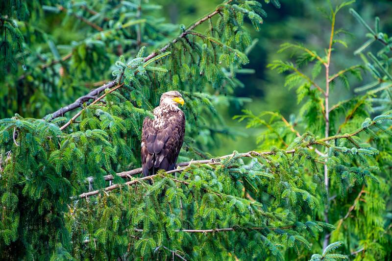 Baby eagle lg (1 of 1).jpg