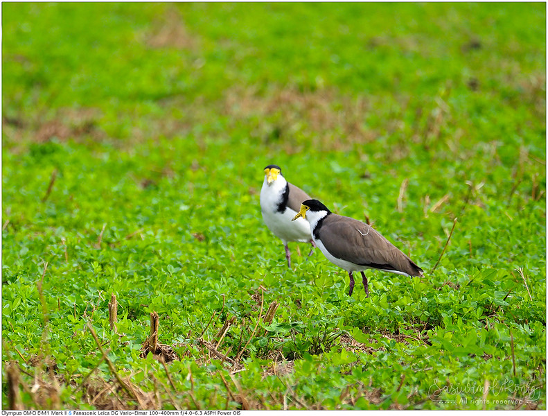 Masked lapwing (Spur-winged plover)