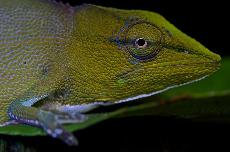 Chameleon (Calumma gastrotaenia) under UV light