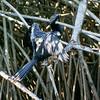 Anhinga Cormorant Drying its Wings