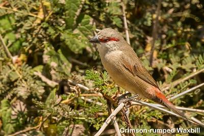 Crimson-rumped Waxbill, Kenya