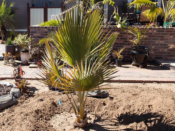 Copernicia baileyana x hospita planting backyard