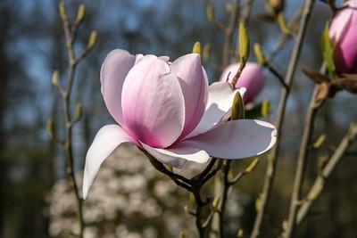2019 De Magnolia in De Plantentuin Meise.