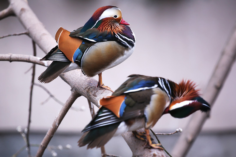 mandarina duck.jpg