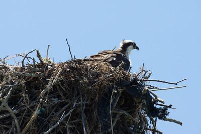 Island Osprey