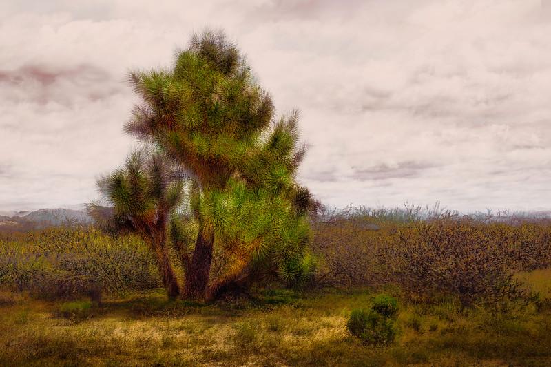 Yucca Tree, Yavapai Co, AZ.