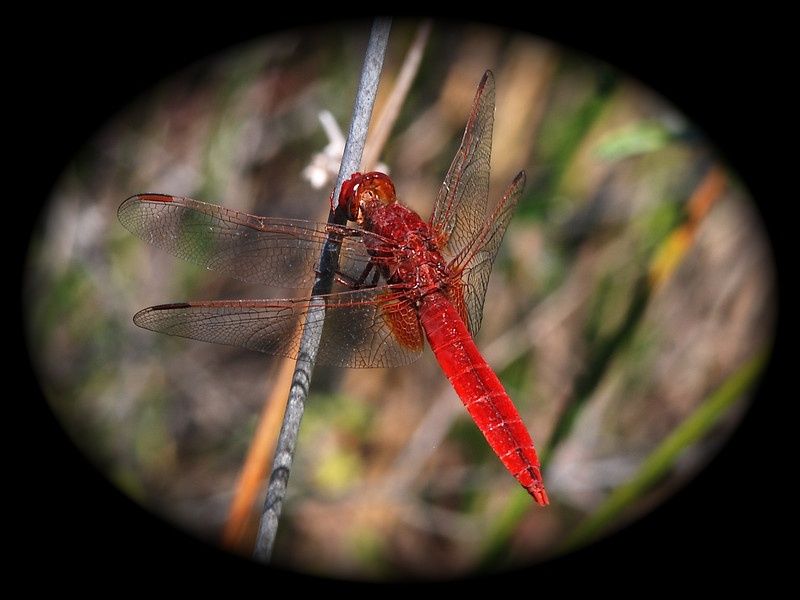 Dragonfly, Guyana