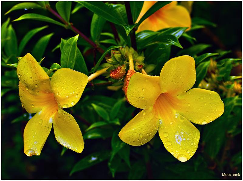 Yellow Pair