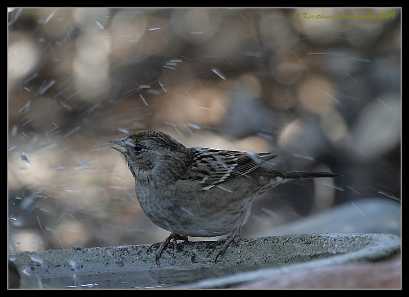 Golden-Crowned Sparrow getting sprayed by a bathing Hermit Thrush, The Drip, Cabrillo National Monument, San Diego County, California, November 2009