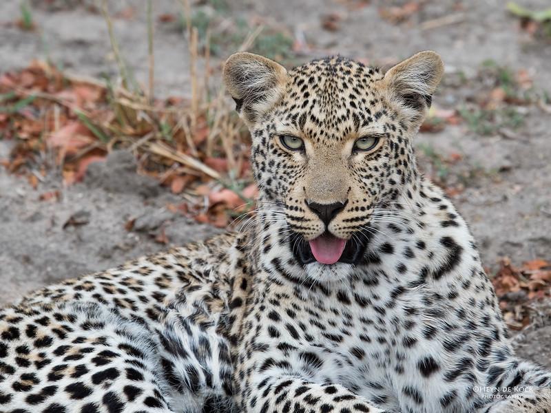 Leopard (Tiyane), Sabi Sands (EP), SA, Oct 2016-9.jpg